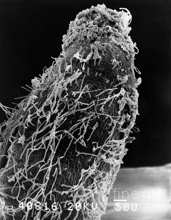 Scanning Electron Micrograph Photograph - Bacteria On Sorghum Root Tip by Science Source