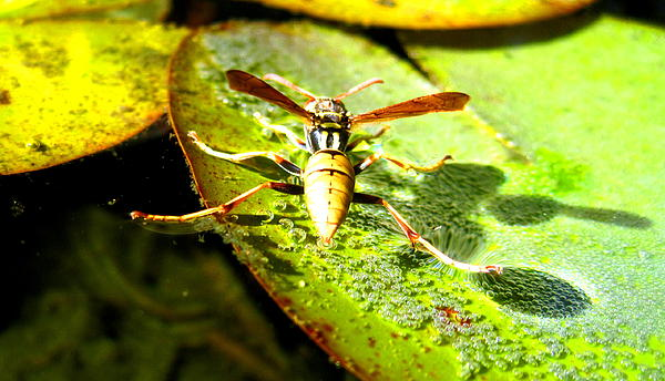 Wasp Photograph - Ballancing On Water by Catherine Natalia  Roche