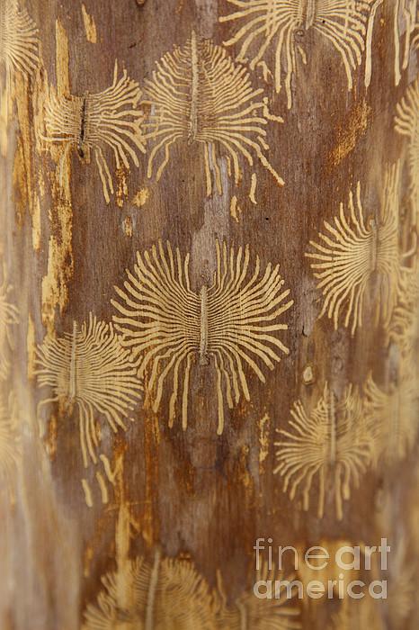Fauna  - Bark Beetle Galleries by Ted Kinsman
