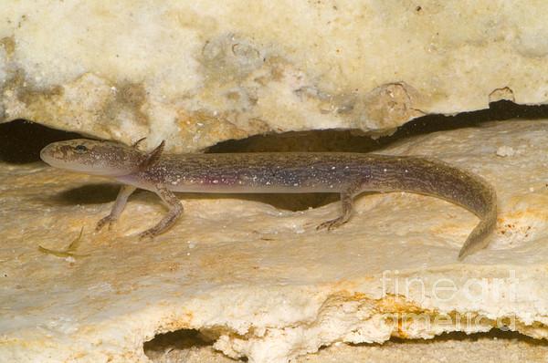 Fauna Photograph - Barton Springs Salmander by Dante Fenolio