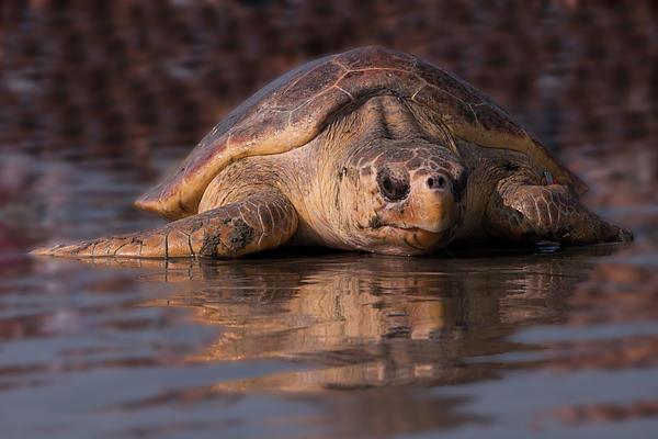 Sea Turtle Photograph - Beaufort The Turtle by Susan Cliett