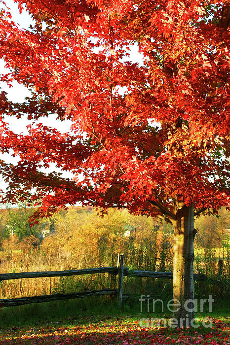 Autumn Photograph - Beautiful Red Maple Tree  by Sandra Cunningham