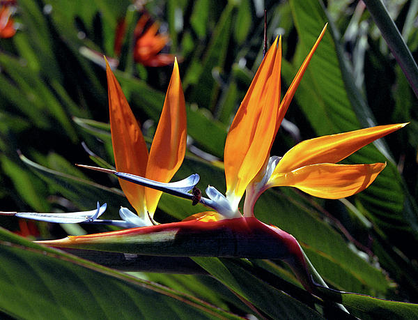 Bee Photograph - Bee And Bird Of Paradise by Kevin Smith