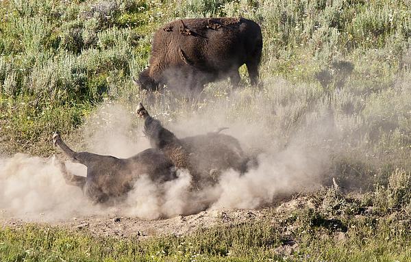 Bison Dust Bath Photograph by Paul Cannon