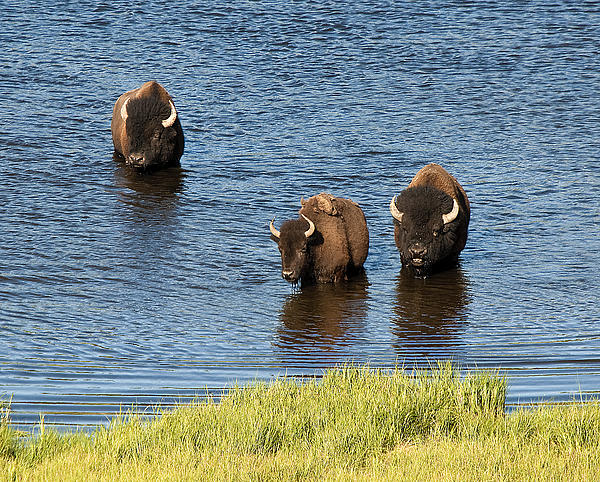 Bison Enjoying The Water Photograph by Paul Cannon