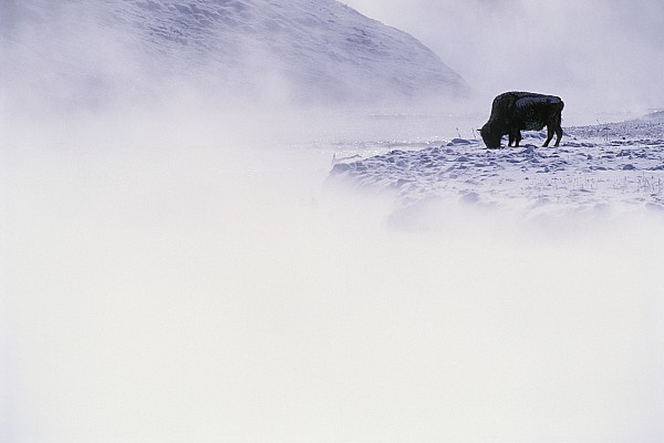 Yellowstone National Park Photograph - Bison Grazing In Winter by Bobby Model