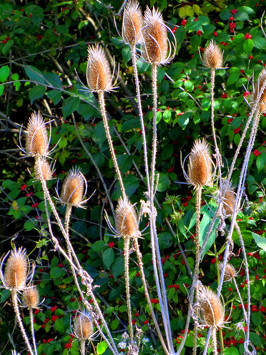 Thistles Photograph - Bittersweet And Thistles by Mindy Newman