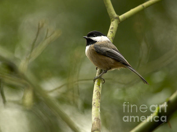 Black-capped Chickadee Photograph - Black-capped Chickadee With Branch Bokeh by Sharon Talson