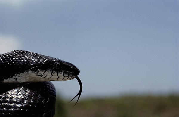 Wild Animals Photograph - Black King Snake Lampropeltis Getulus by Medford Taylor