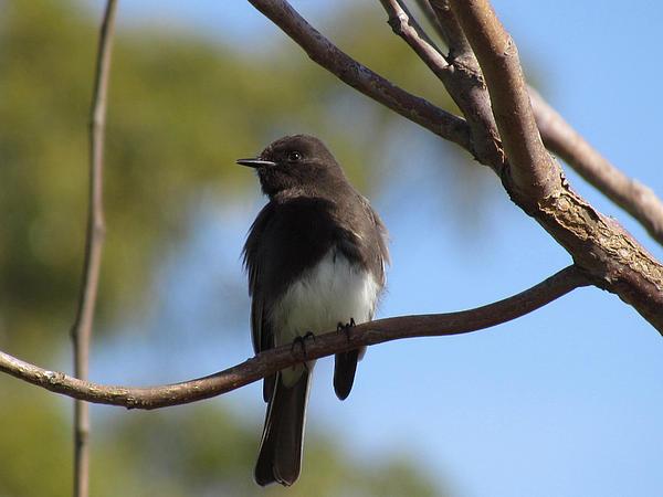 Flycatcher Photograph - Black Phoebe by Bonnie Muir