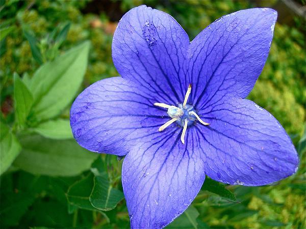 Balloon Flower Photograph - Blue Balloon by Randy Rosenberger
