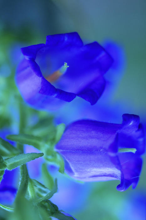 Flower Photograph - Blue Bell Flowers by Kathy Yates