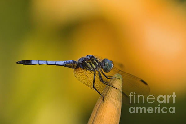 Blue Photograph - Blue Dasher - D007665 by Daniel Dempster