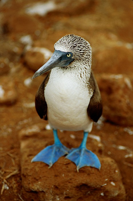 Blue Footed Boobies Photograph - Blue-footed Booby Sula Nebouxii by James P. Blair