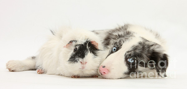 Nature  - Blue Merle Border Collie With Guinea Pig by Mark Taylor