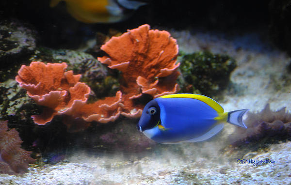 Blue Tang Photograph - Blue Tang And Coral by DiDi Higginbotham