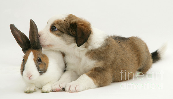 Rabbit Photograph - Border Collie Pup With Dutch Rabbit by Jane Burton