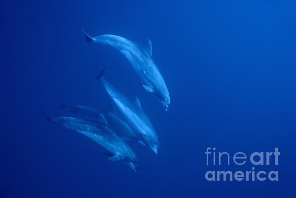 Togetherness Photograph - Bottle-nosed Dolphins Underwater by Sami Sarkis