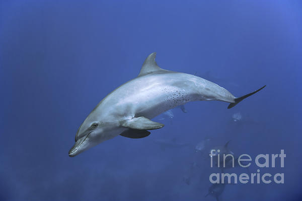 Dolphins Photograph - Bottlenose Dolphin by Tom Peled