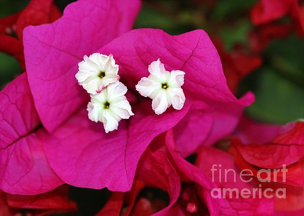 Flower Photograph - Bouganvillea by Sabrina L Ryan