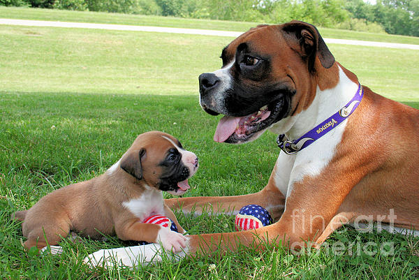Boxer Photograph - Boxer Mommy And Pup by Renae Laughner