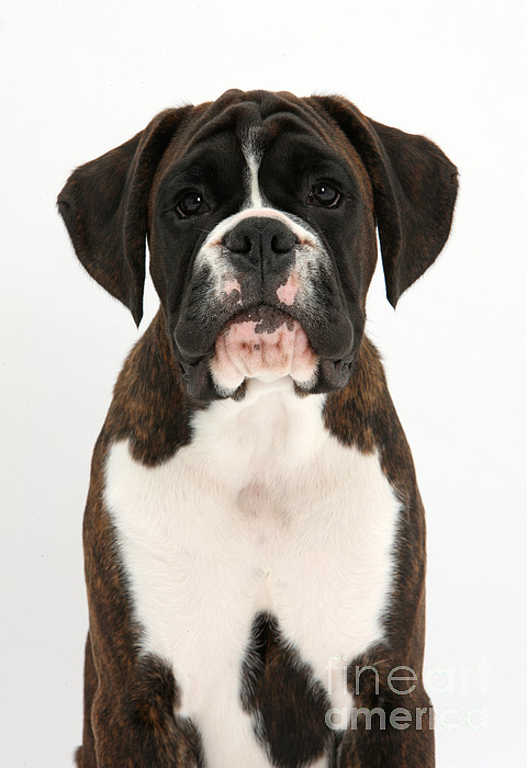 Nature Photograph - Boxer Pup by Mark Taylor