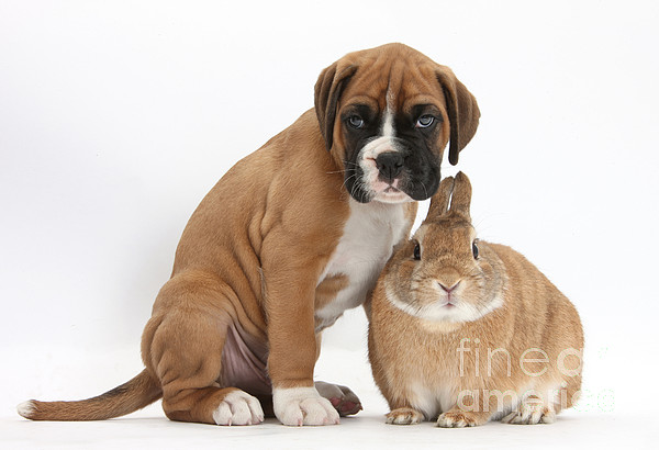 Nature Photograph - Boxer Puppy And Netherland-cross Rabbit by Mark Taylor