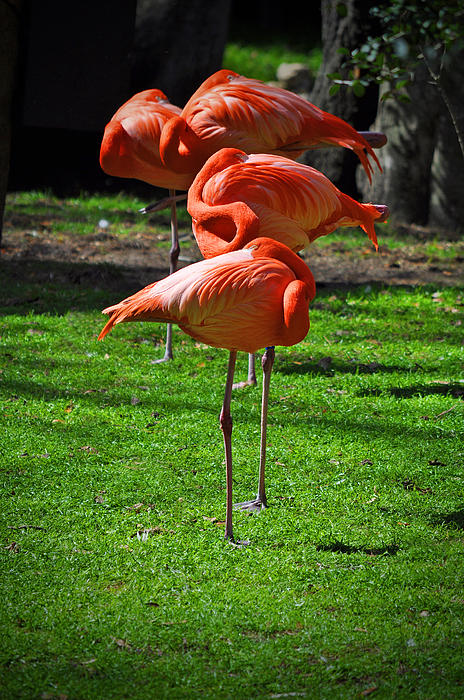 Flamingo Photograph - Brilliant Flamingos by Mary Machare