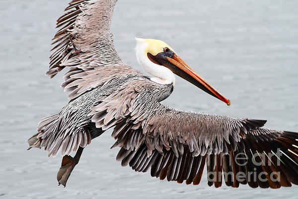 Animal Photograph - Brown Pelican . 7d8234 by Wingsdomain Art and Photography