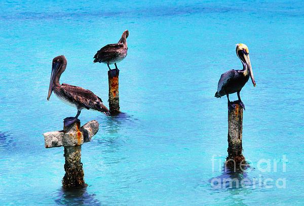 Brown Pelicans Photograph - Brown Pelicans In Aruba by Thomas R Fletcher