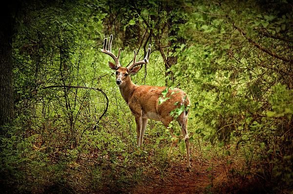 Buck Photograph - Buck In Full Velvet by Tamyra Ayles