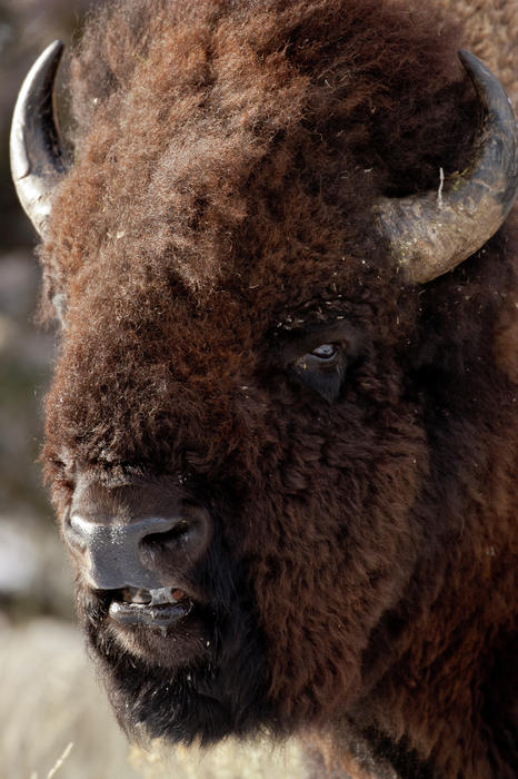 Bison Buffalo American Endangered Species Extinction Recovery Yellowstone Photograph - Bull Bison by D Robert Franz