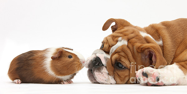 Nature Photograph - Bulldog Pup Face-to-face With Guinea Pig by Mark Taylor