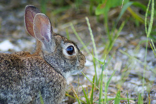 Nature Photograph - bunny Upclose by Florene Welebny