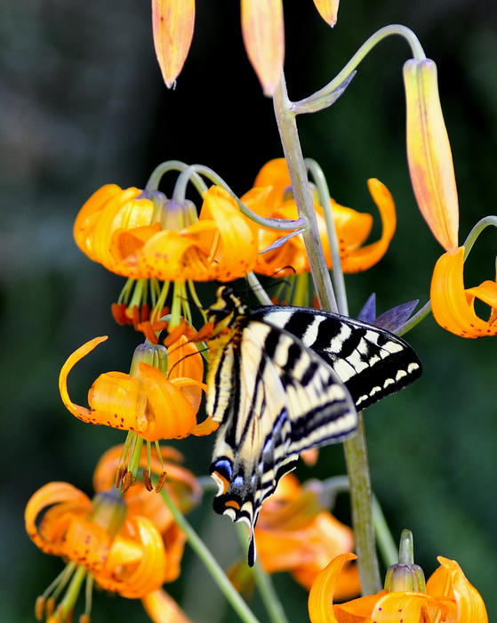 Flower Photograph - Butterfly On Lily by Scott Gould