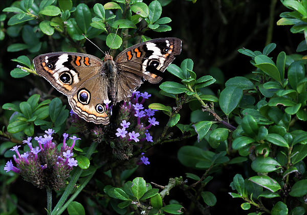 Butterfly Photograph - Butterfly With Torn Wings by Robert Ullmann