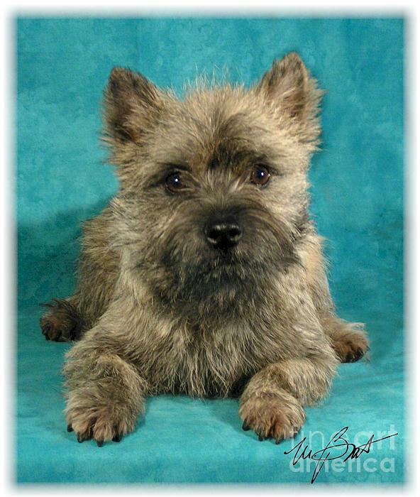 Cairn Digital Art - Cairn Terrier Pup by Maxine Bochnia