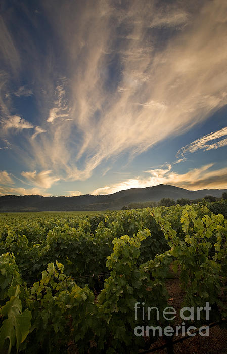 Vineyard Photograph - California Vineyard Sunset by Matt Tilghman