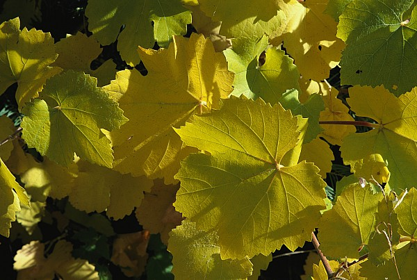 North America Photograph - California Wild Grape Leaves Vitis by Marc Moritsch