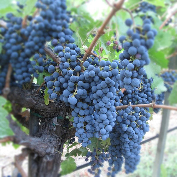 Grapes Photograph - Calistoga Bloom by Jean Macaluso
