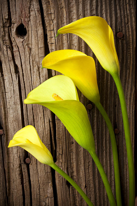 Calla Lily Photograph - Calla Lilies Against Wooden Wall by Garry Gay