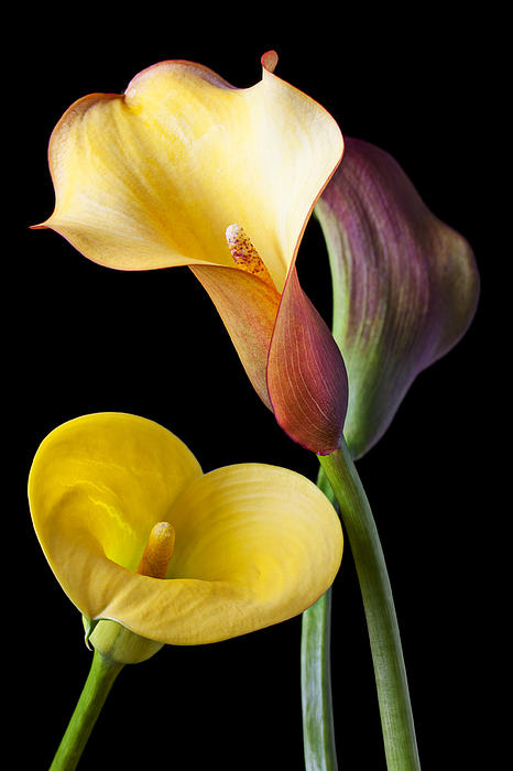 Calla Lily Photograph - Calla Lilies Still Life by Garry Gay