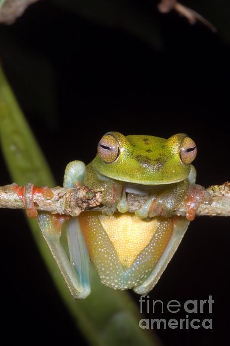 Hyla Photograph - Canal Zone Tree Frog by Dante Fenolio