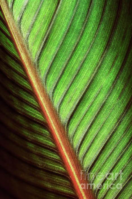 Canna Photograph - Canna Leaf by Neil Overy