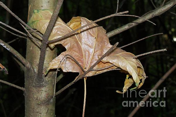 Maple Leaf Photograph - Caught In Fall by Laurel Thomson