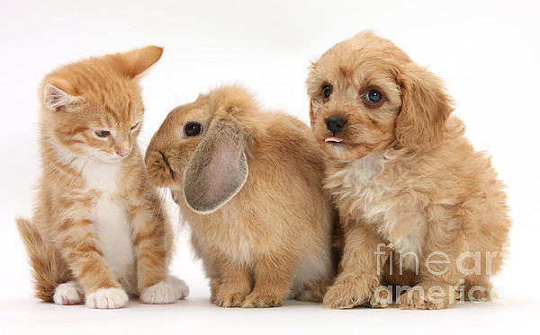 Nature Photograph - Cavapoo Pup, Rabbit And Ginger Kitten by Mark Taylor