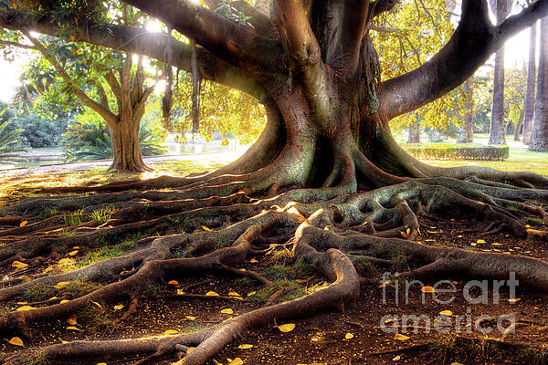 Ancient Photograph - Centenarian Tree by Carlos Caetano