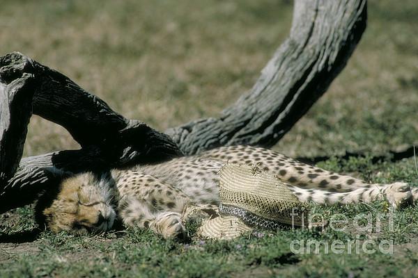 Fauna Photograph - Cheetah Cub Sleeping And Guarding Hat by Greg Dimijian