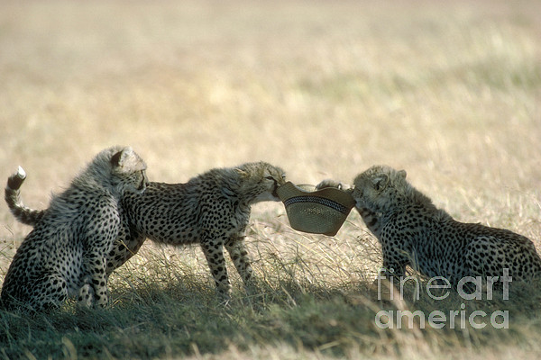Fauna Photograph - Cheetah Cubs Play With Hat by Greg Dimijian