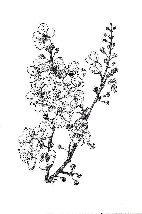 Flowers Drawing - Cherry Blossems by Christy Beckwith